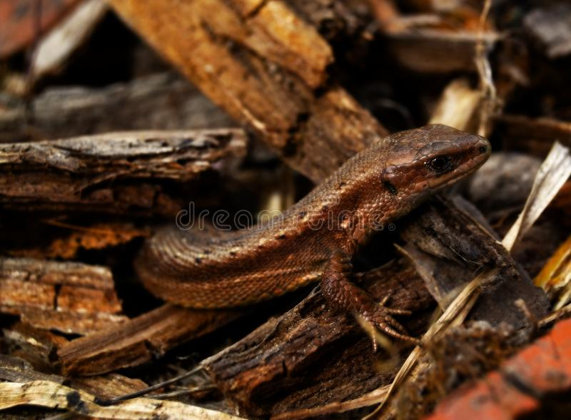 Lizard in wood chips stock photo
