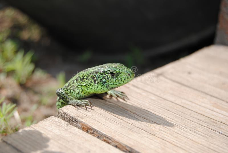 The lizard on the wood plate royalty free stock image