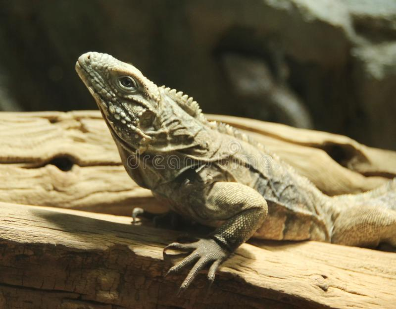 Lizard on wood, portrait stock images