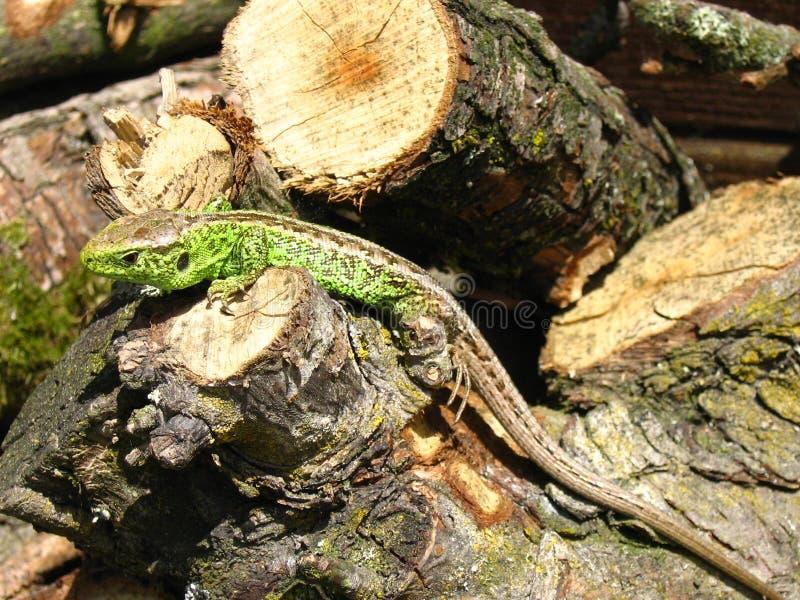 Lizard on wood stock image