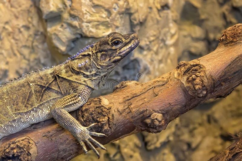 Lizard on the wood stock photos