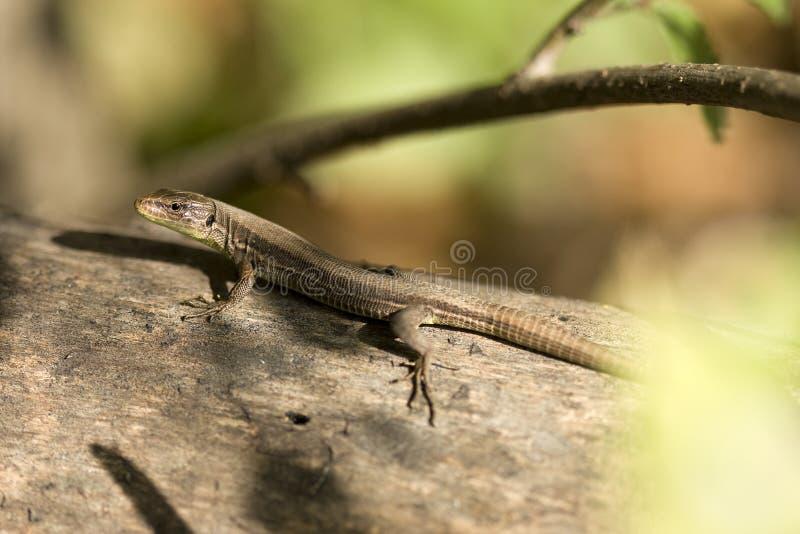 Lizard by wound springtime on stem tree royalty free stock photos