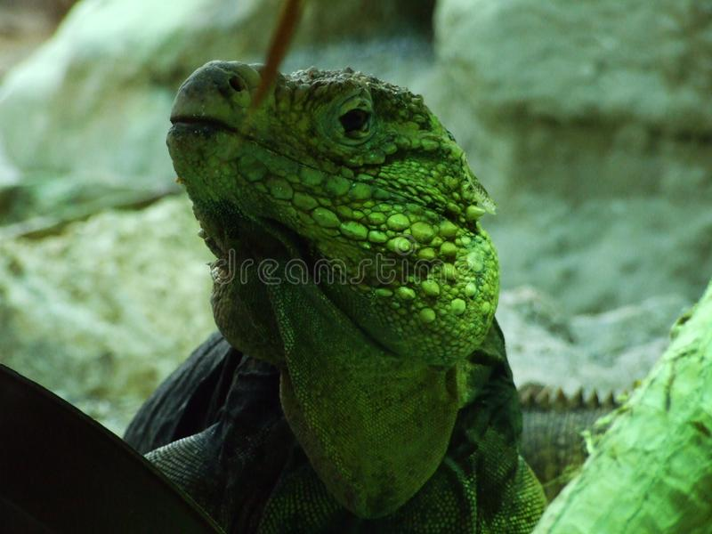 Lizard in the Zoo of Zagreb royalty free stock photos