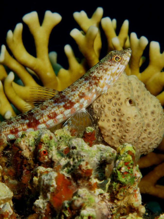 Free Lizardfish Stock Images - 14888624