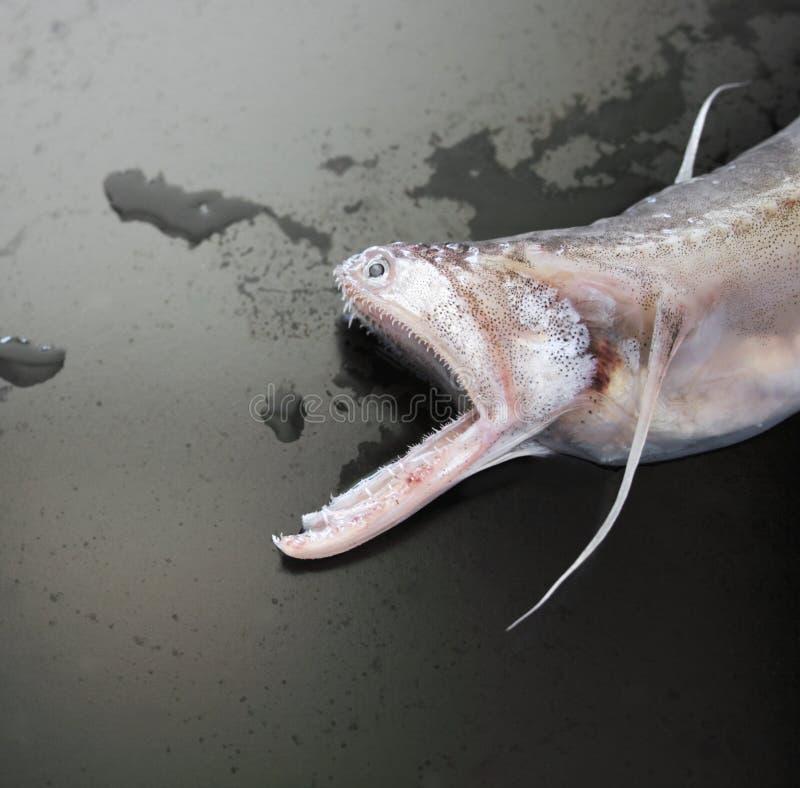 Free Lizardfish Stock Images - 2480304