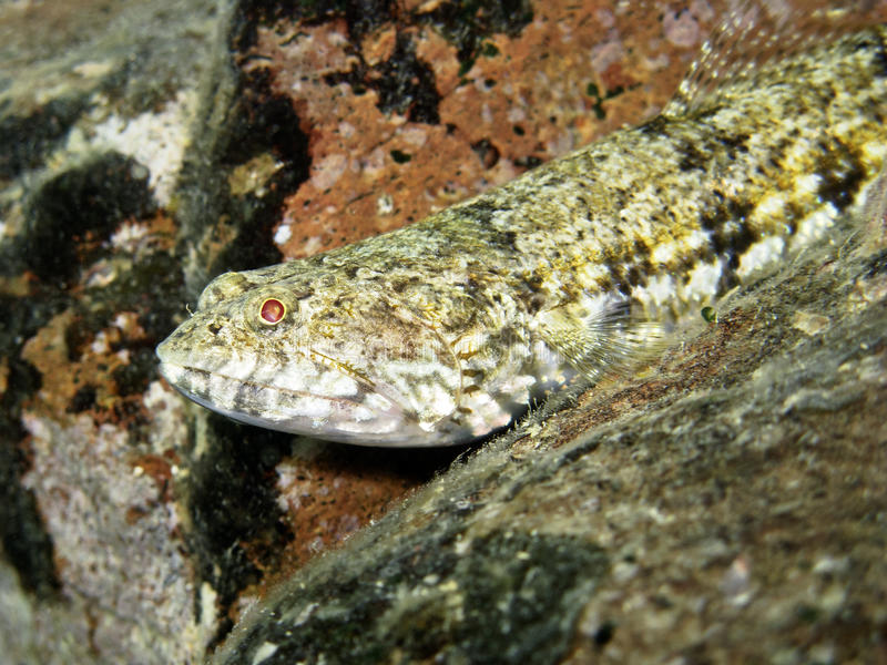 Lizardfish (close up) stock photography
