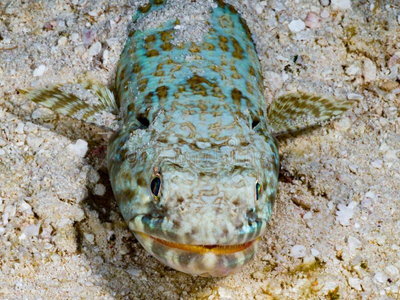 Lizardfish på sand arkivfoto