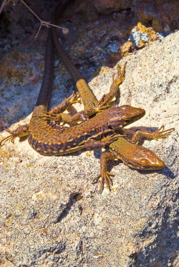 Download Lizards stock photo. Image of animals, change, descriptive - 13731422