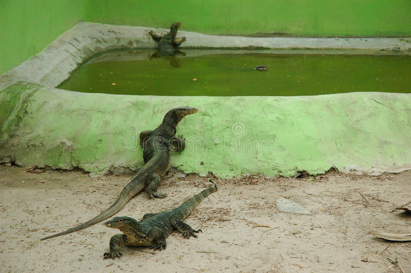 Lizards royalty free stock photography