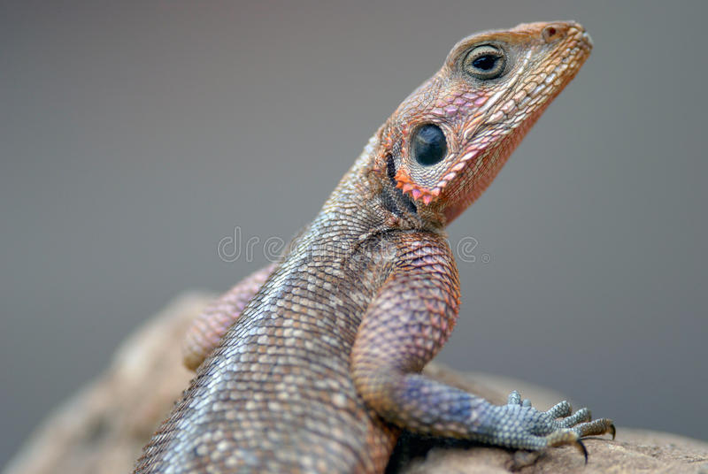 Lizards Agama Mwanza filmed in Kenya stock images