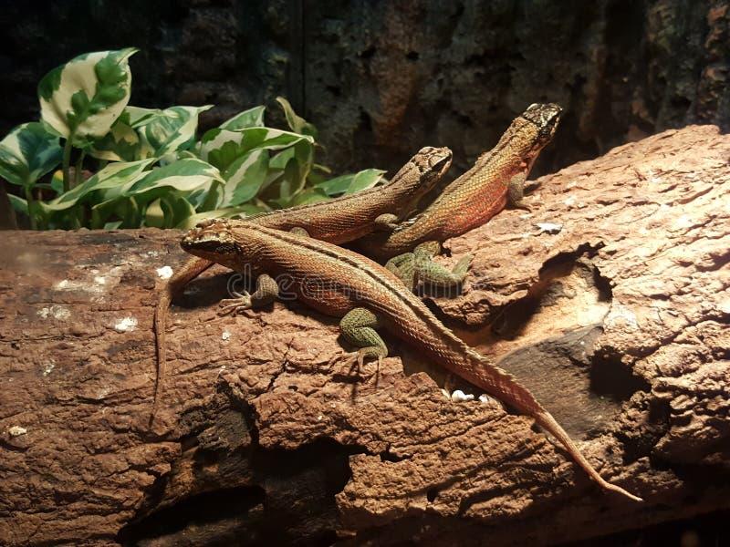 Lizards stock image