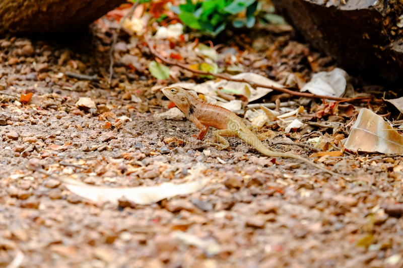 While the lizards in park. While the lizards are seen not to be a victim royalty free stock photography