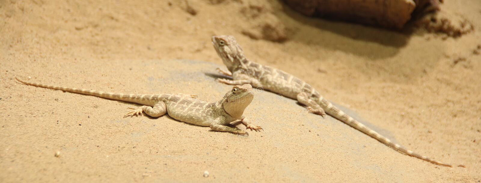 Lizards are relaxing in the sand stock photo