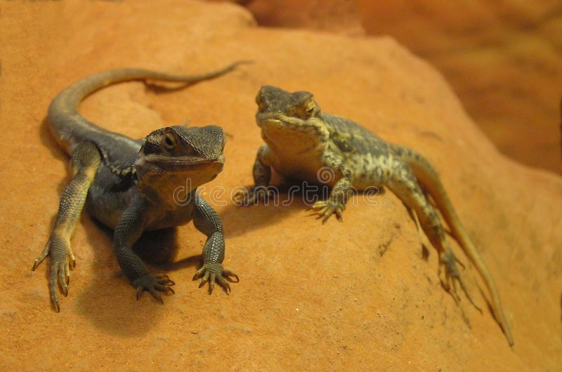 Lizards on a Rock stock images