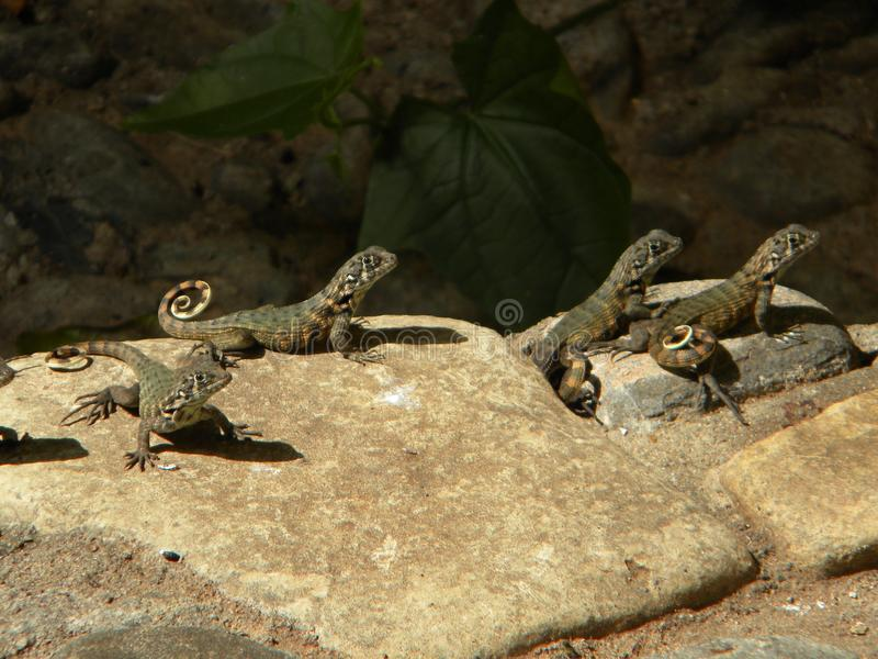 Lizards on rock stock images