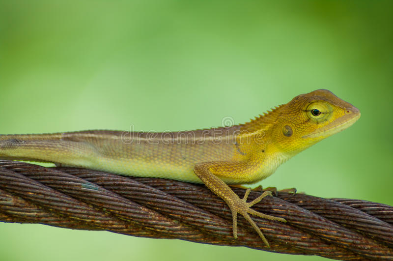 Lizards in sling. On green background royalty free stock photos
