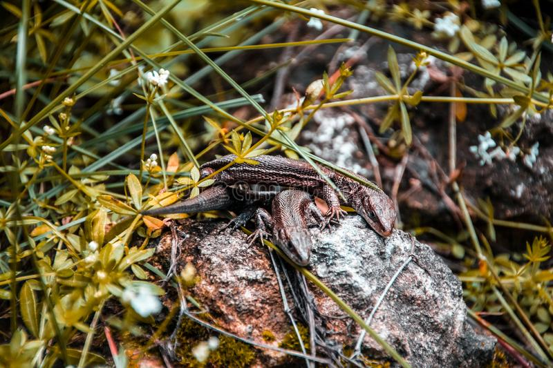 Lizards sunbathe in the sun. Lizard. Forest. Stone. Nature. forest of Russia. Reptiles. Summer days. Background. a pair of lizards on a warm stone royalty free stock photo