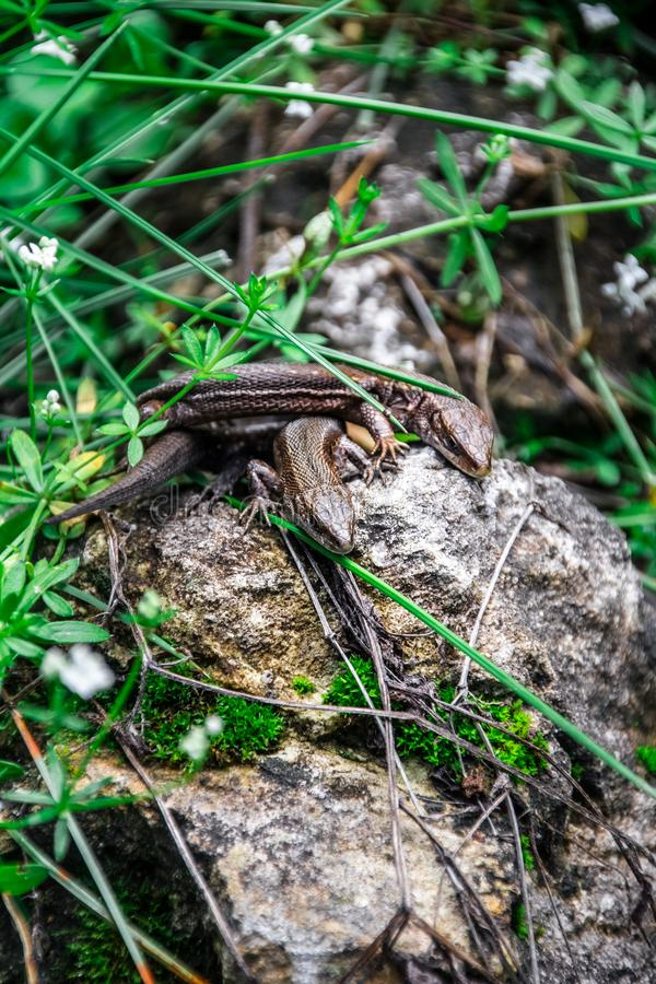 Lizards sunbathe in the sun. Lizard. Forest. Stone. Nature. forest of Russia. Reptiles. Summer days. Background. a pair of lizards on a warm stone stock images