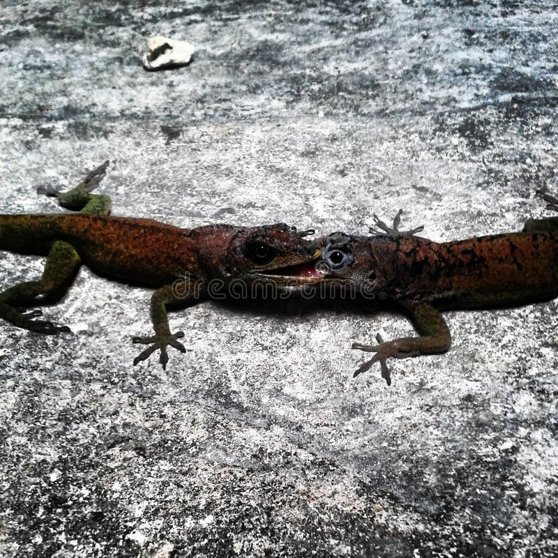 Lizards stock photography