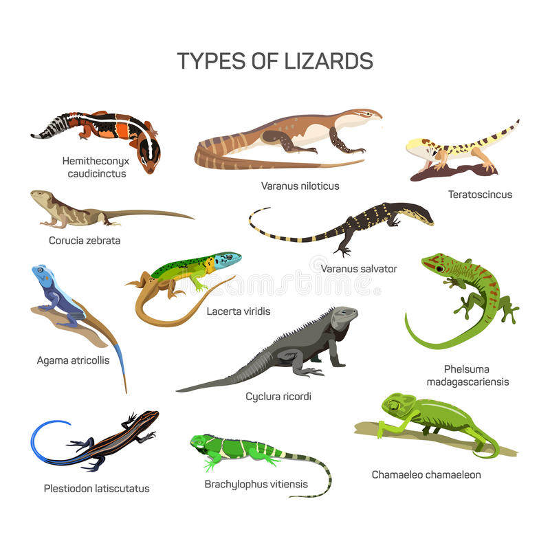 Lizards vector set in flat style design. Different kind of lizard reptile species icons collection. Isolated on white background stock illustration