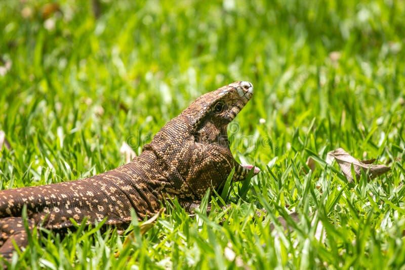 LizardYawning stockbild
