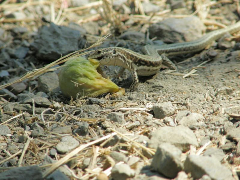 Lizzard che mangia fico nel giardino botanico su Creta immagini stock libere da diritti
