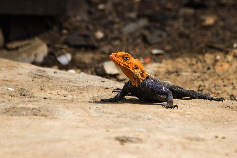 Lizzard d'agame image stock