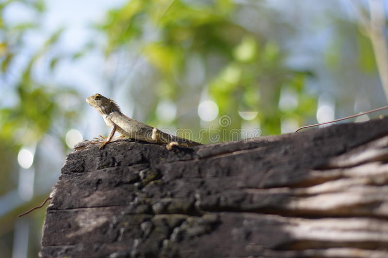 Lizzard rise. Sunshine alone nature royalty free stock images