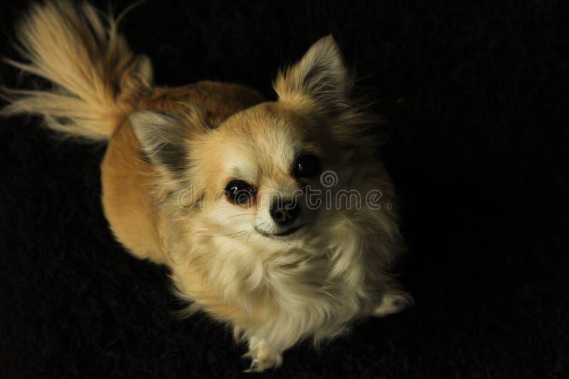 Lizzy不可思议的奇瓦瓦狗 免版税库存照片