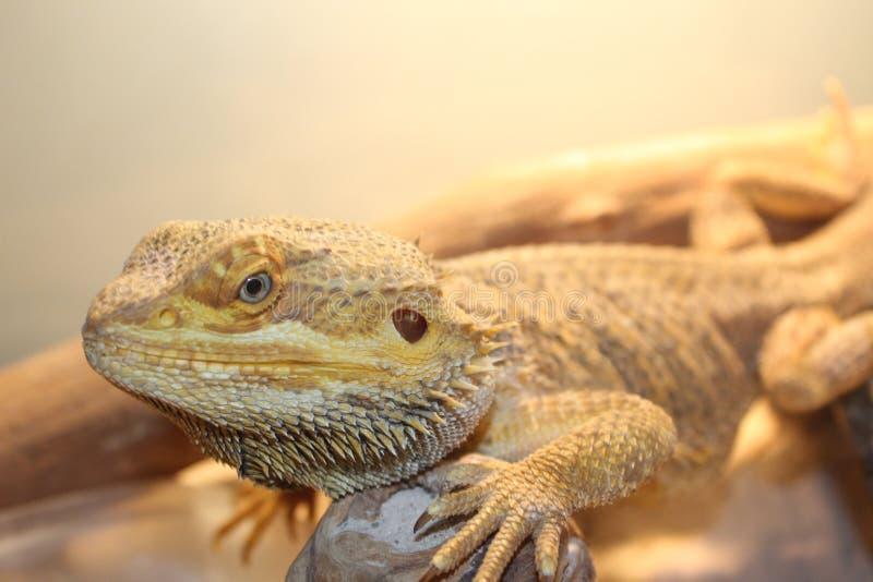 Lizzy el dragón imágenes de archivo libres de regalías