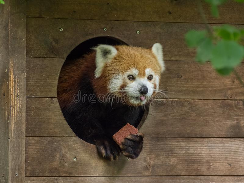 Red panda in his little wooden house. LJUBLAJNA, SLOVENIA - June 25th 2018:The looking out red panda in his little wooden house stock photo