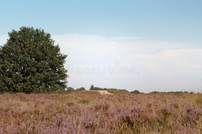 Ljung i Nederländerna royaltyfri fotografi