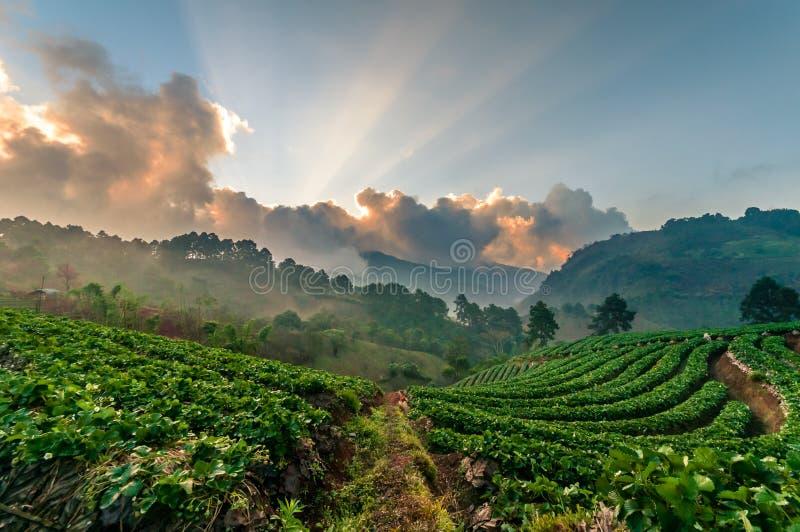 Ljus av jordgubbelantgården på doiangkhang, Chiangmai, Thailand arkivfoton