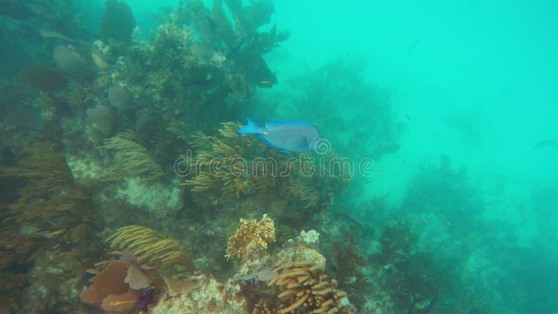 Ljus blå fisk på kanten av korallreverna arkivfoto