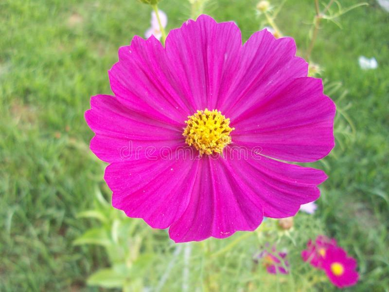 ljus blommapink arkivbilder