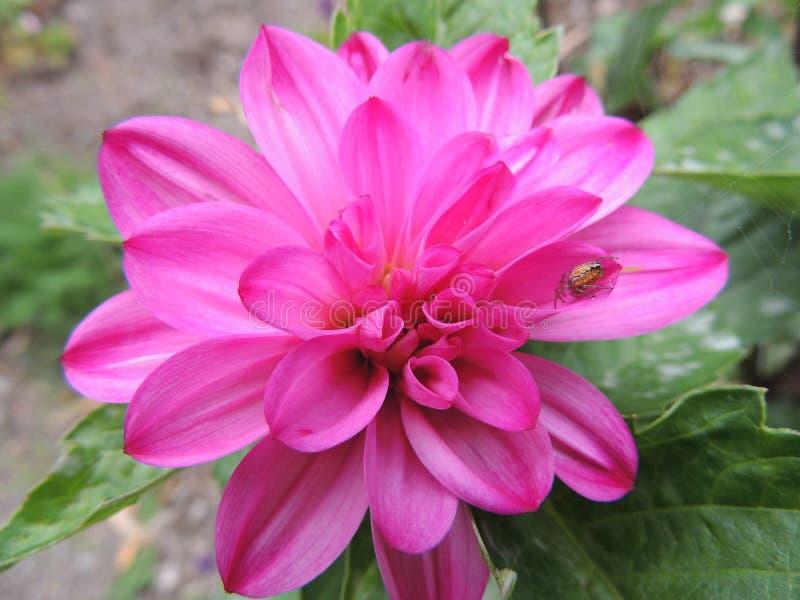 ljus blommapink royaltyfri bild