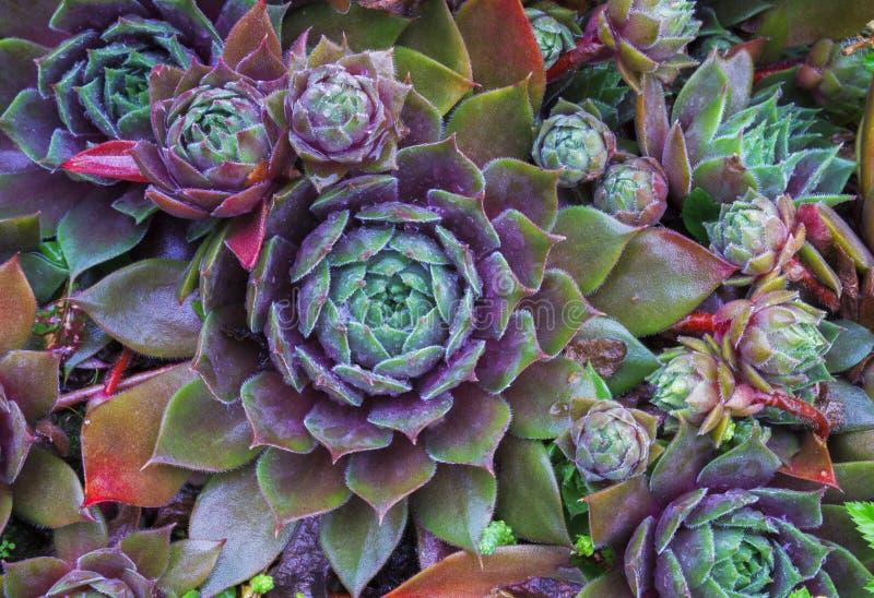 Ljus blommaSempervivum tectorum, suckulenter eller crassulaceae med vattendroppar Closeupfoto, selektiv mjuk fokus Växter gard arkivfoton