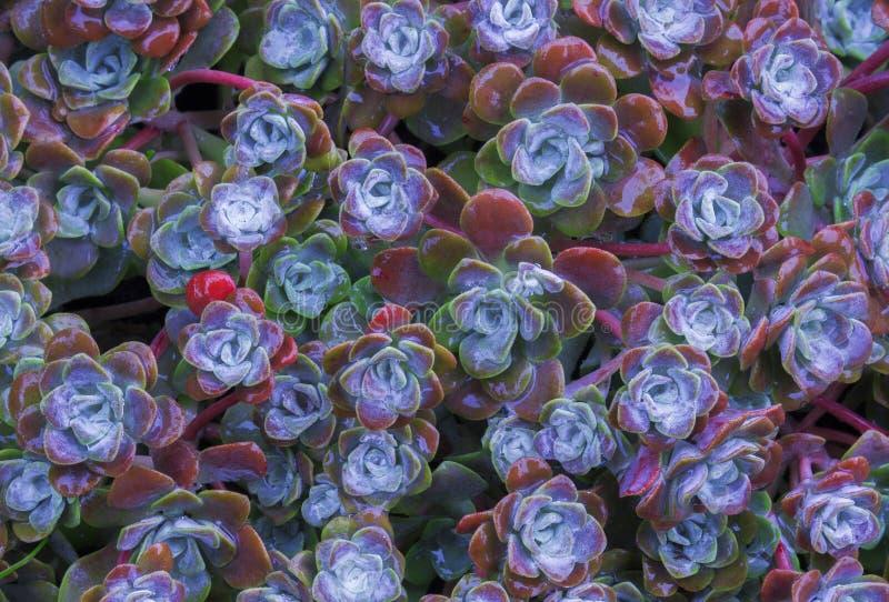 Ljus blommaSempervivum tectorum, suckulenter eller crassulaceae med vattendroppar Closeupfoto, selektiv mjuk fokus Växter gard arkivbilder