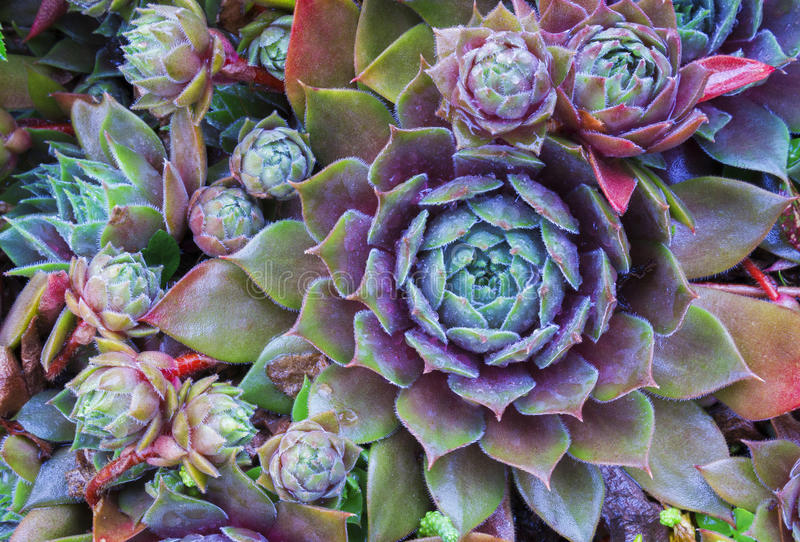 Ljus blommaSempervivum tectorum, suckulenter eller crassulaceae med vattendroppar Closeupfoto, selektiv mjuk fokus Växter gard royaltyfri bild