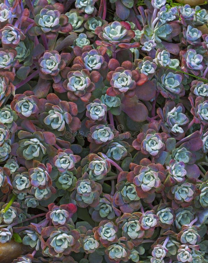 Ljus blommaSempervivum tectorum, suckulenter eller crassulaceae med vattendroppar Closeupfoto, selektiv mjuk fokus Växter gard royaltyfri fotografi