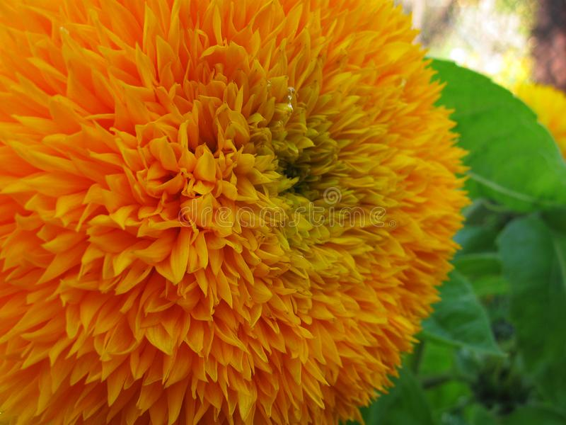 Ljus blommasommardag Kronbladnärbild Makroskönhet av naturen royaltyfri foto