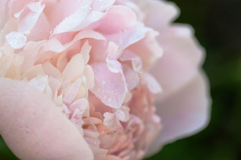Ljus - den rosa pionblomman som täckas av vatten, tappar den mjuka fokuscloseupen royaltyfri fotografi