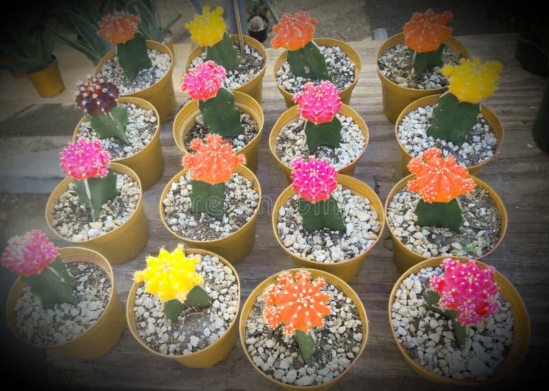 Ljus färg för kaktus arkivbilder