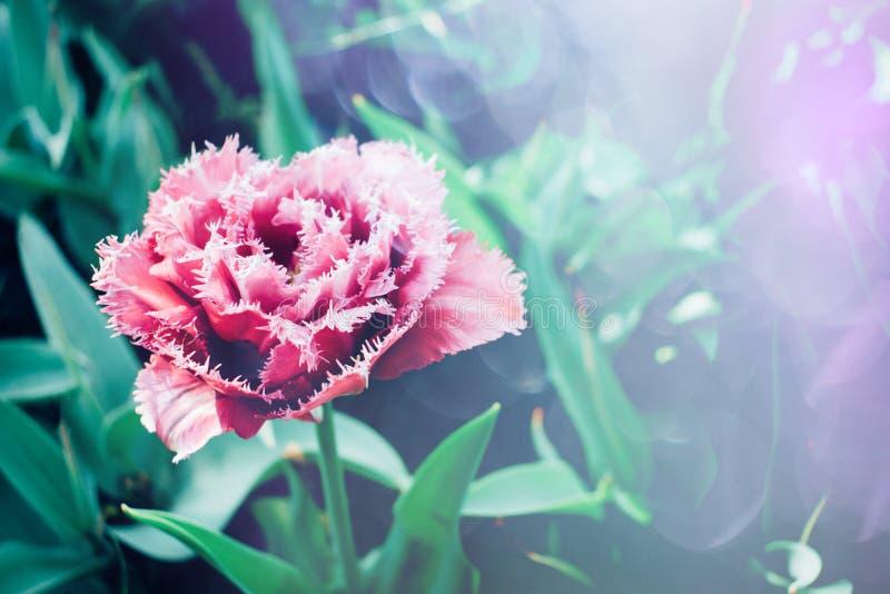 Ljus färgrik tulpanbakgrund Härliga blommatulpan med solljus och bokeh Tulpanhälsningkort selektivt fokusera, royaltyfria bilder