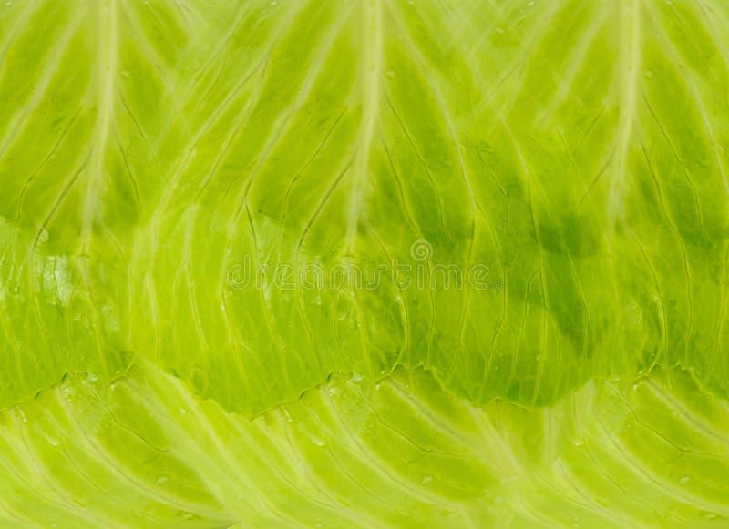 Ljus för kål för blad för grönsaktextur naturligt - grön bakgrund arkivfoto