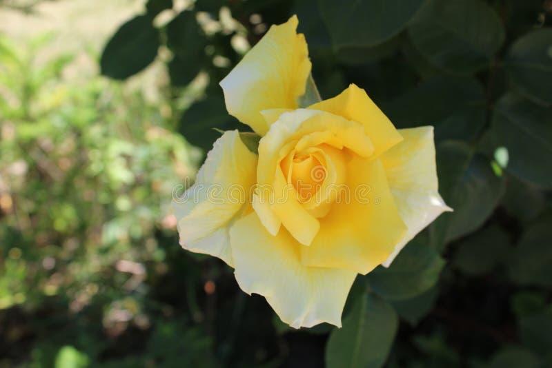 Ljus för Rosa damascenaMagnoliophytaslut - guling royaltyfri foto