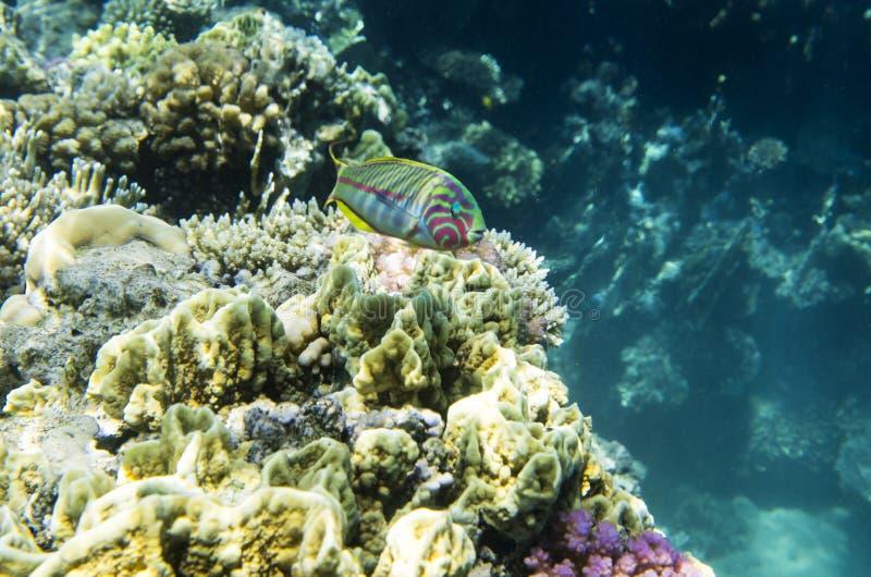 Ljus fisk på vapnet av korallen fotografering för bildbyråer