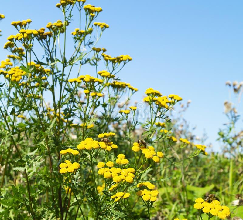 Ljus flowerseshelichrysum i fält royaltyfria foton