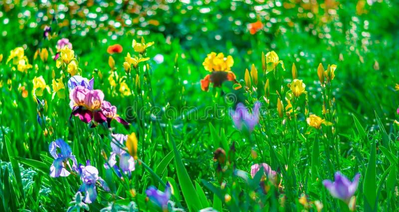 Ljus genomdränkt blom- bakgrund med blommande färgrika lilor för trädgårdgulingblått och lilairins Trädgårds- blomsterrabatt i su royaltyfri bild