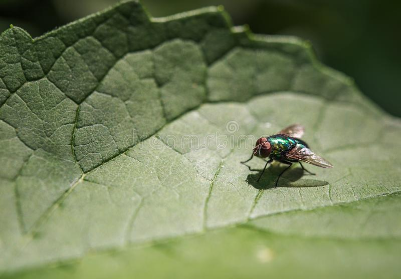 Ljus grönaktig skinande fluga på ett grönt blad arkivbild